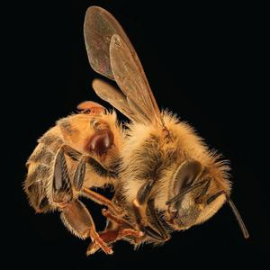 Listen to Dr. SAMUEL RAMSEY on Bee Population in Peril /210